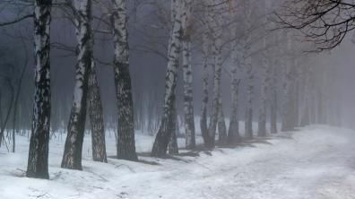 birches_fog_snow_55370_1366x768