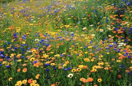 daisies_cornflowers_flowers_meadow_summer_nature_55629_1800x1180