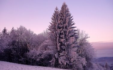 fir-trees_snow_winter_lilac_60970_1920x1200