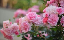 flowers_pink_leaves_87331_2560x1600