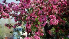 flowers_trees_flowering_92586_1366x768