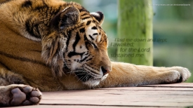 I-laid-me-down-and-slept-Lord-sustained-me-tiger-christian-wallpaper-hd_1366x768