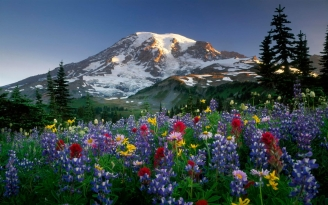 lupines_flowers_fields_mountains_trees_nature_snow_33568_1680x1050