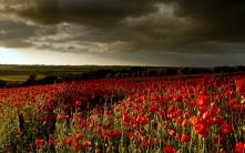 poppies_flowers_field_sunset_92671_1920x1200
