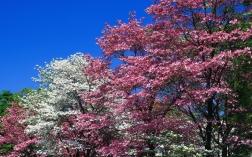 spring_trees_flowering_pink_white_flowers_8051_1920x1200