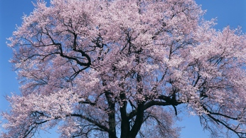 tree_flowers_sky_bloom_92642_1366x768