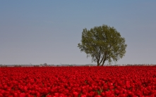 tulips_flowers_red_bright_field_tree_sky_33607_1680x1050