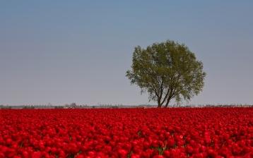 tulips_flowers_red_bright_field_tree_sky_33607_1680x1050