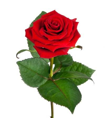 13432980-single-beautiful-red-rose-isolated-on-white-background