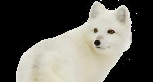 arctic_fox_PNG41381