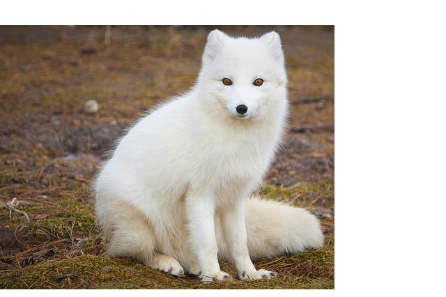 arctic_fox_PNG41385