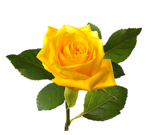 beautiful-yellow-rose