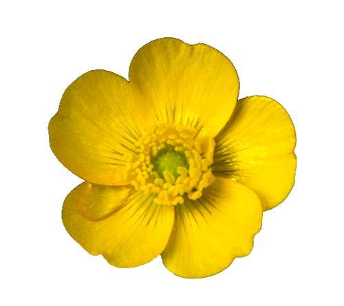 buttercup-clipart-cherry-blossom-15