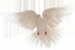 dove-flight-2