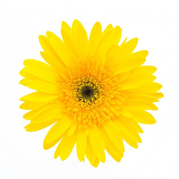 flor-amarela-em-um-fundo-branco_1203-2149