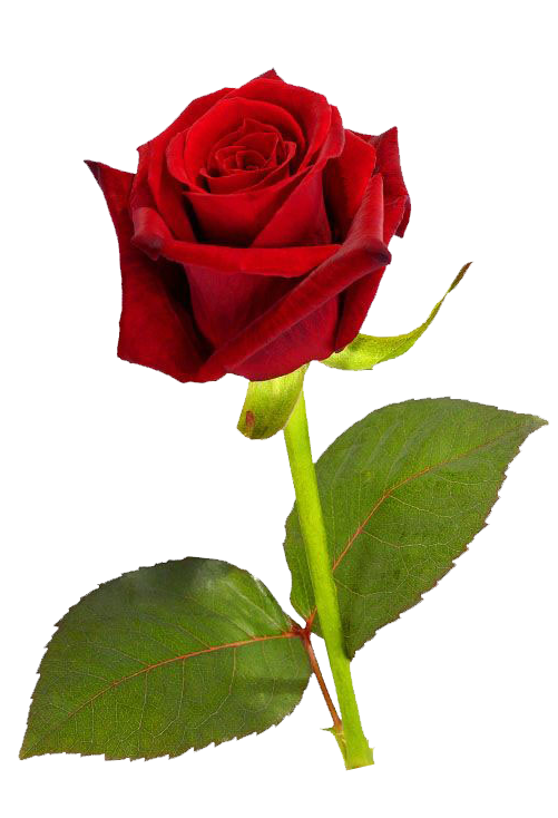 love-transparent-single-rose-6