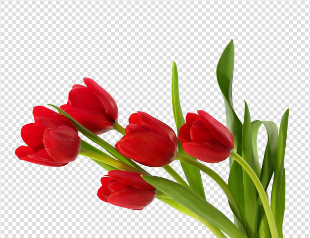 red-tulips-png-image