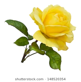 single-golden-yellow-rose-on-260nw-148520354