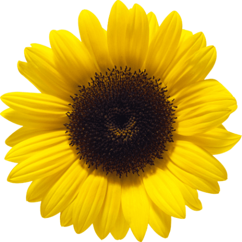 sunflower-transparent-clear-background-1