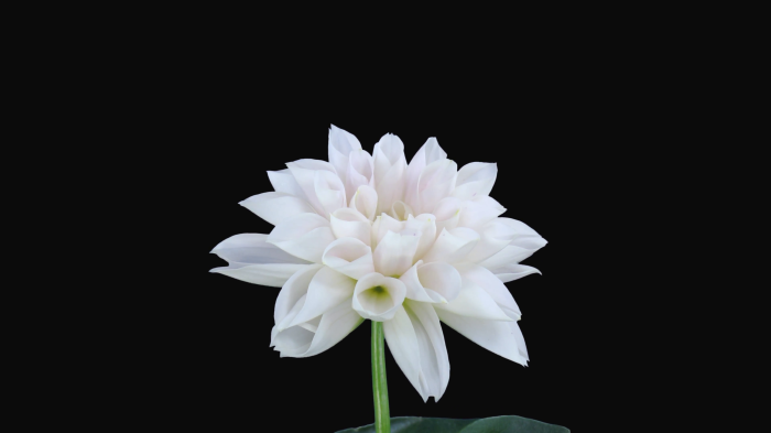time-lapse-of-blooming-white-dahlia-flower-5x5-in-4k-png-format-with-alpha-transparency-channel-isolated-on-black-background_4kzkdfn-g__F0007
