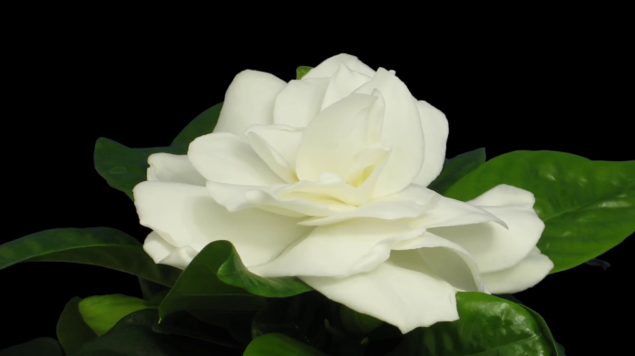time-lapse-of-opening-gardenia-flower-1a1-in-png-format-with-alpha-transparency-channel-isolated-on-black-background_rilu4vx__F0010