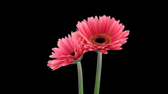 time-lapse-of-opening-pink-gerbera-flower-1a1-in-png-format-with-alpha-transparency-channel-isolated-on-black-background_n1iyyvowe__F0013