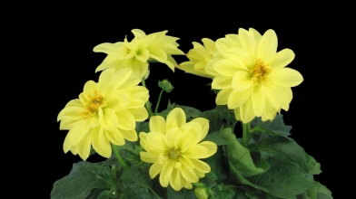 time-lapse-of-opening-yellow-dahlia-flower-1c1-in-png-format-with-alpha-transparency-channel-isolated-on-black-background_ejnkyp_bx__F0013